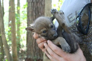 Captive red wolf puppy Photo Credit: Ryan Nordsven/USFWS