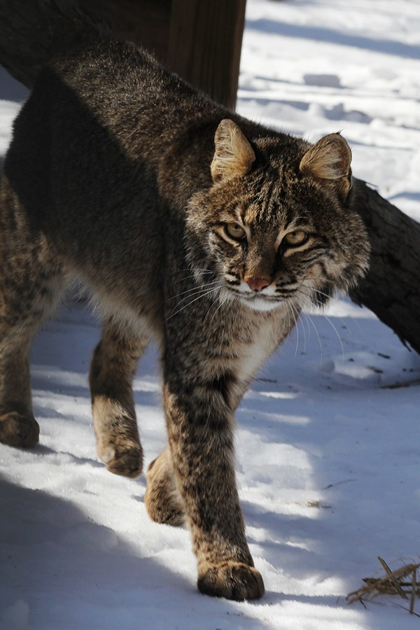 Reno Bobcat. Photo by Taylor Hattori Images.