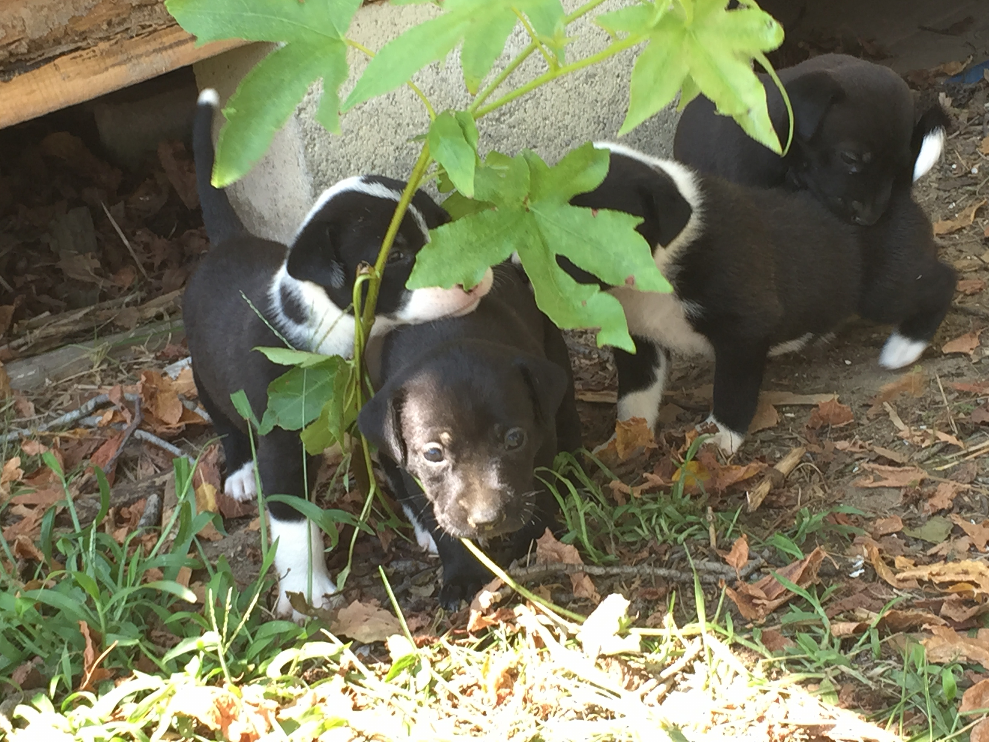 Pups rescued by Maggie Society after they were found with their stray mother, under a Nash County farm building.
