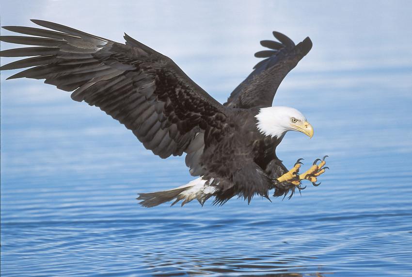 Bald Eagle, Haliaeetus Leucocephalus.Photo Souce & © Robin Silver, Center for Biological Diversity.