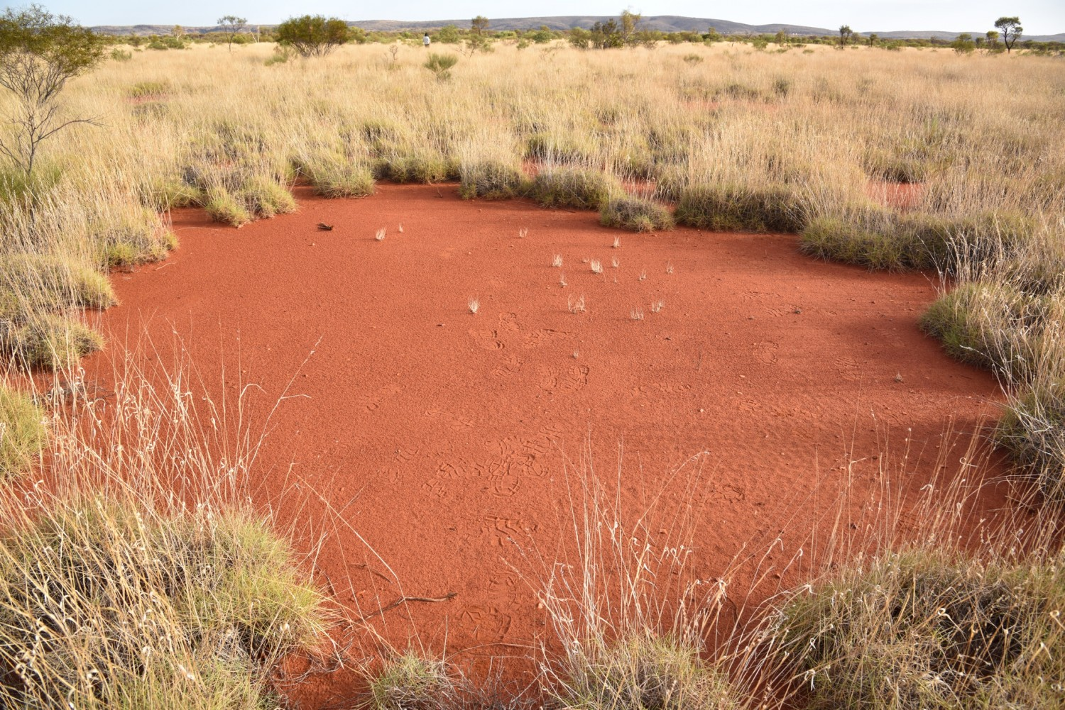 A large fairy circle with a hardened top-soil layer that prevents the growth of grass. Australian fairy circles have mean diameters of 4 meters but some may exceed 7 meters. Photo: Dr. Stephan Getzin.