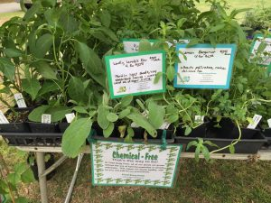 Toad Song Farm plant sale at the Country Doctor Museum (Bailey NC) during special event April 30, 2016. Photo: Kay Whatley.