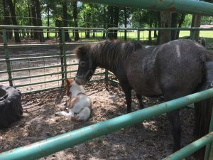 Miniature horse Heritage Feather Dancer with her colt, Bo, born May 15, 2016, at Teddy's Treasures, Eagle Rock Road, Wendell NC. Source: Kay Whatley.