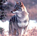 Coyote photo. Source: NCWildlife.org.