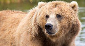 Brown Bear. Source:-Lisa Hupp, FWS