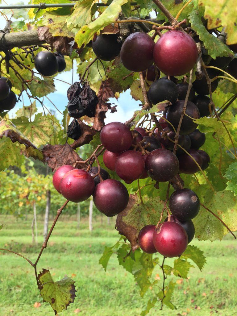 Muscadines on the vine at Baker Family Vineyard, Zebulon NC. Photo: Kay Whatley.