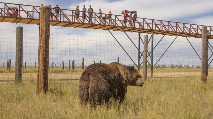 2,000 pound Kodiak Bear being observed by visitors on record-breaking walkway. Source: PRNewsFoto/The Wild Animal Sanctuary, Keenesburg, Colorado.
