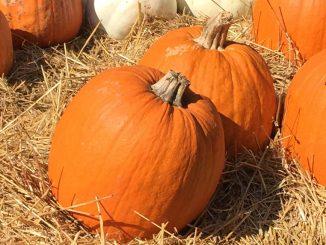 Pumpkins, ornamental. Photo: Kay Whatley.