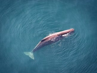 Sperm whales will experience as many as 760,000 harassing exposures to airgun blasting over the next decade, according to the draft environmental impact statement. Source: Tim Cole/National Marine Fisheries Service.