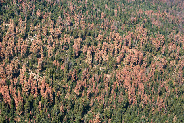 Aerial detection survey photo of dead and dying trees on the Sequoia and Sierra National forests, August 2016. Source: USFS Region 5.