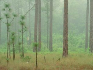 Longleaf pine in Croatan National Forest, North Carolina by Photographer Bill Lea. Source: Southern Environmental Law Center.