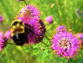 Rusty patched bumble bee. Photo courtesy of Christy Stewart.