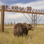 2,000 pound Kodiak Bear being observed by visitors on record-breaking walkway at The Wild Animal Sanctuary. Source: PRNewsFoto/The Wild Animal Sanctuary, Keenesburg, Colorado.