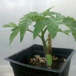 Young tomato plant. Source: The Whatleys.
