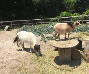 Mini horse Gertrude, at left, enjoying some hay. Photo: Kay Whatley