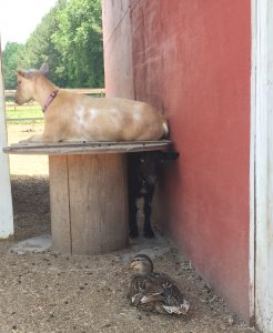 Two goats and a duck enjoying shade at The Black Sheep Asylum. Photo: Kay Whatley