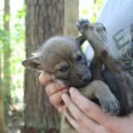 Red wolf puppy. Photo: Ryan Nordsven/USFWS