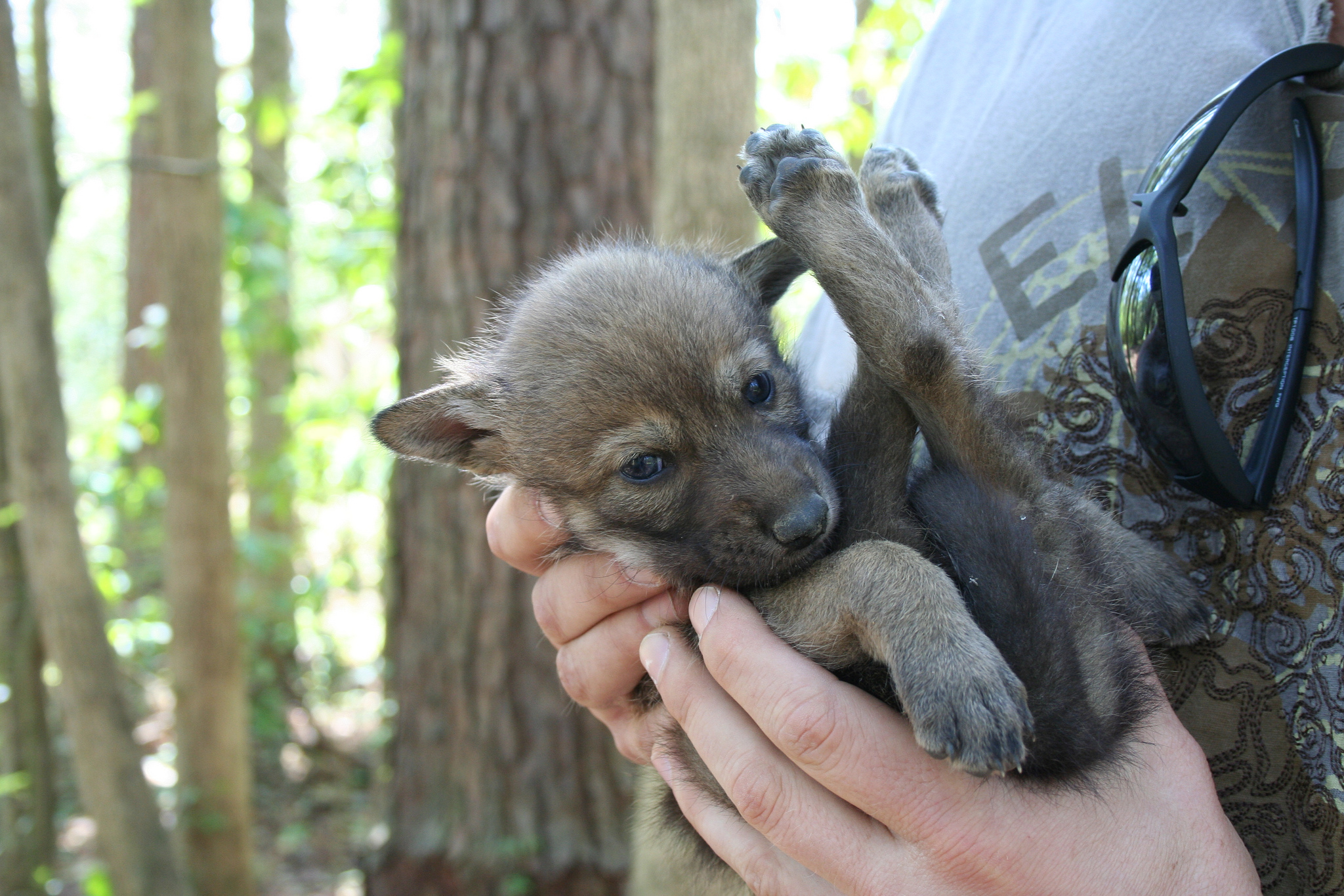 Red wolf puppy. Photo: Ryan Nordsven/USFWS