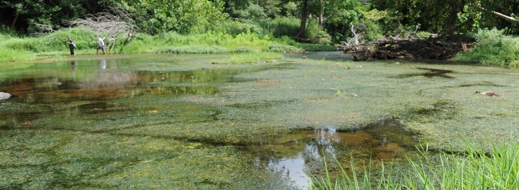 Eno River Hydrilla. Photo: North Carolina Invasive Plant Council, nc-ipc.weebly.com/.