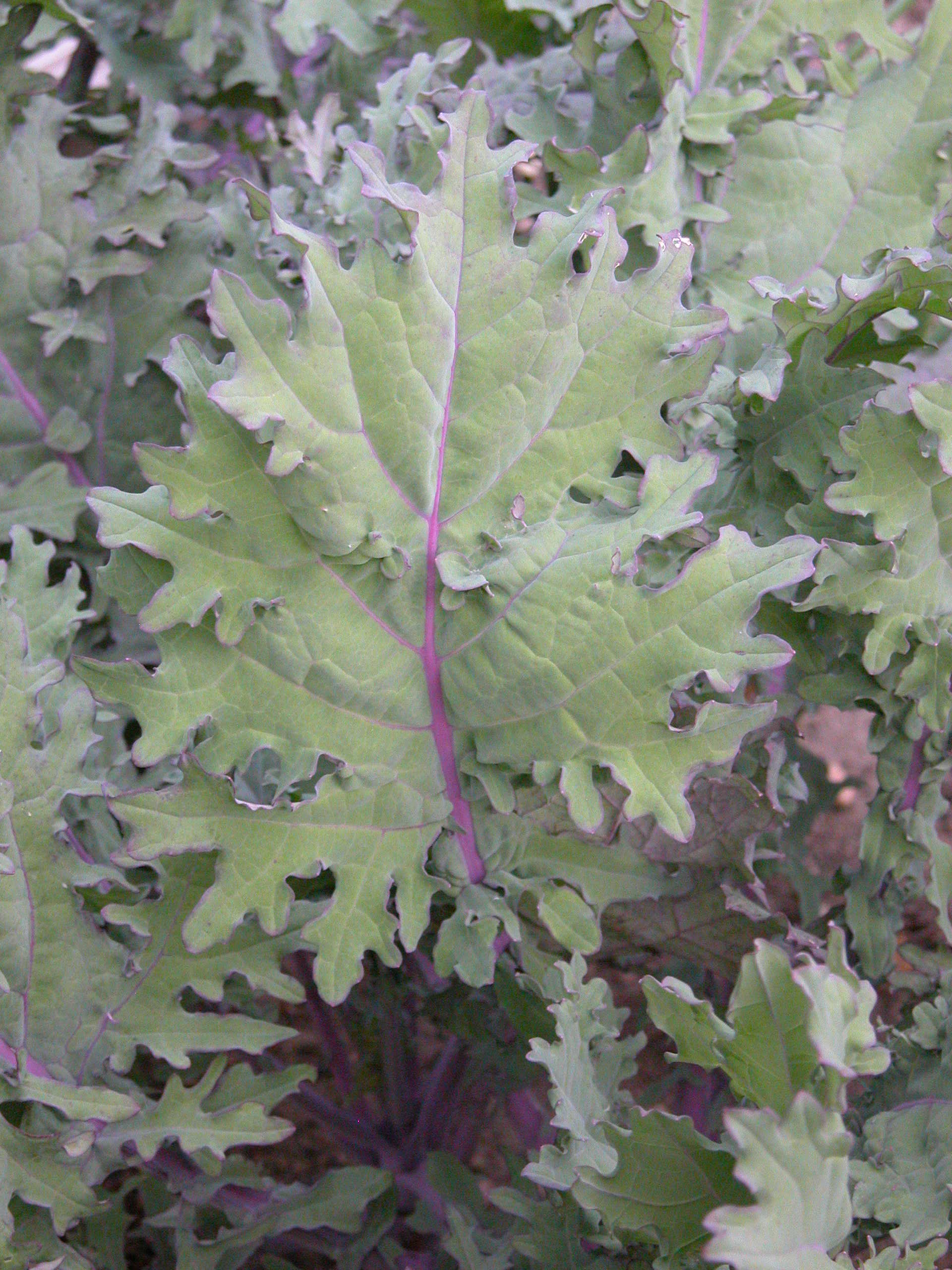 Red Winter Kale. Photo by Connie Schultz.