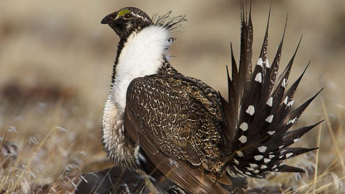 A male Greater Sage Grouse in the US. Source: Pacific Southwest Region U.S. Fish and Wildlife Service from Sacramento CA.