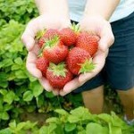 Fresh-picked Strawberries. Photo: Vollmer Farm, Bunn NC.