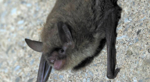 Northern long-eared bat, © Sybill Amelon/USFS.
