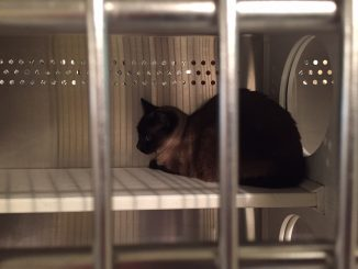 This older cat is shown in an Eastern NC shelter. It was adopted. Photo: Kay Whatley.