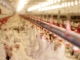 Chickens in a factory farm. Source: Environmental Working Group, ewg.org.