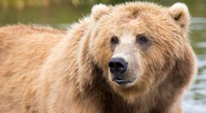 Brown Bear. Source:-Lisa Hupp, FWS