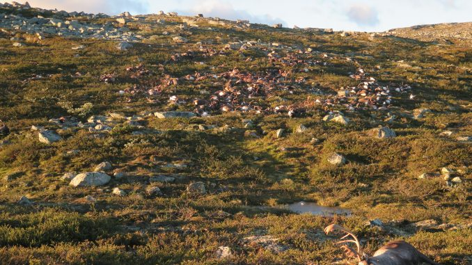 Reindeer bodies litter the slope following the lightning strike. Source: miljodirektoratet.no.