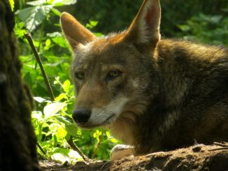 Photo Credit: Wolf Haven International, via fws.gov.