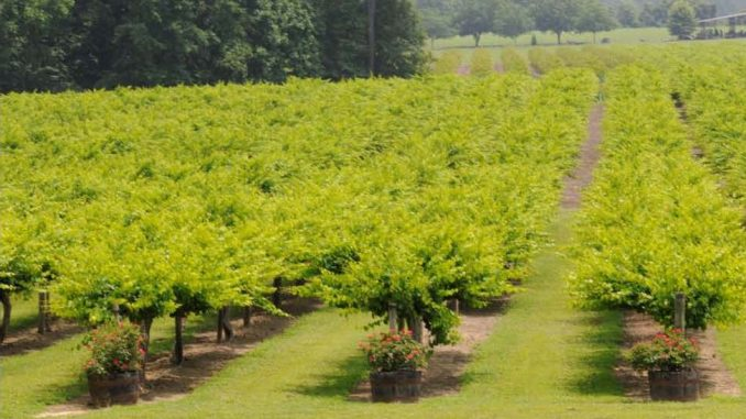 Moccasin Creek Muscadines offers Pick Your Own in the Fall. Source: Moccasin Creek, Zebulon NC.