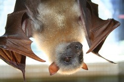Source: Lubee Bat Conservancy, Gainesville, Florida, lubee.org.