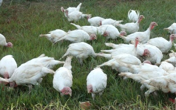 Pastured turkeys fattening up naturally for Thanksgiving at Ray Family Farms in Bunn, North Carolina. Source: www.rayfamilyfarms.com.