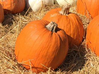 Pumpkins, ornamental. Photo: Kay Whatley.