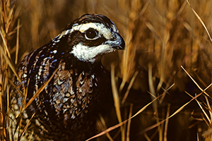 A Northern Bobwhite. Source: USDA's Natural Resources Conservation Service.
