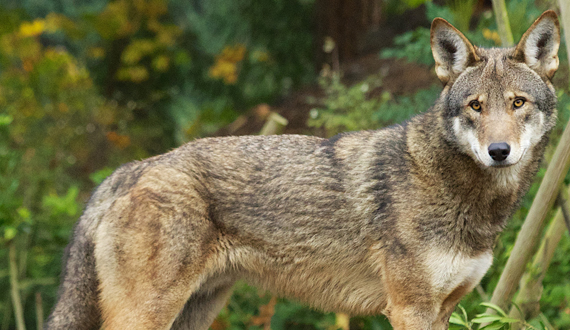 Red Wolf shown in a US Fish and Wildlife Service photo. Source: www.biologicaldiversity.org.
