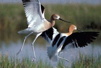 Cranes landing in the San Luis Valley. Source: US Fish and Wildlife Service (FWS).