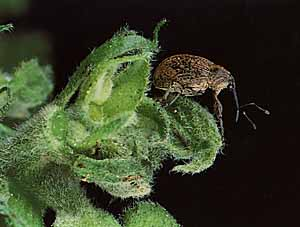 Boll Weevil. Source: NCDA&CS Plant Industry Division.