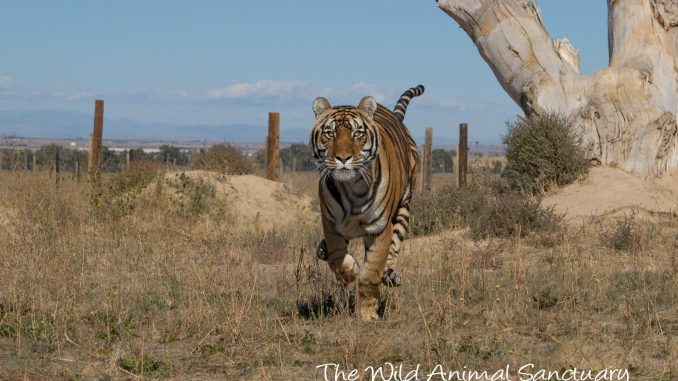 A big cat runs freely. Source: The Wild Animal Sanctuary, Colorado.