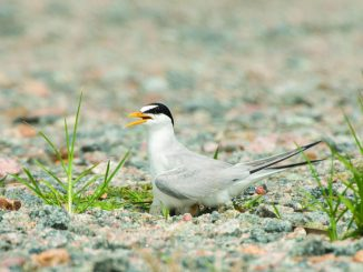 Least Tern on Eggs. Photo Copyright Eve Turek.