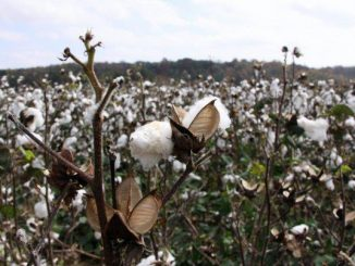 Cotton growing in a field. Photo: Mary Wilks