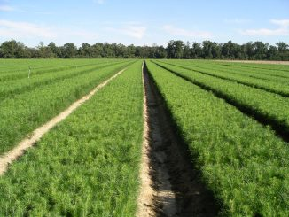 NC Forest Service tree seedlings in field. Source: Brian R. Haines, NC Forest Service.