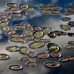 """Wild Plants, First Place 2016, by Eric Abernethy, Asheboro. Late-day lily pads. """"This is one of the most stunning displays that I have ever encountered. Late day thunderstorms had just moved through, and golden setting sunlight began penetrating through raindrops that had collected on the lily pads of varying colors in a pond near my Randolph County home. The water drop colors were altered by adding late-day golden sunlight color to them. I had always wanted to photograph raindrops on lily pads. I never imagined it would look like this when my opportunity arrived."""""""