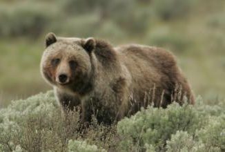 Grizzly Bear on Swan Lake Flats in June 2005. Photo: Jim Peaco, National Park Service, via www.westernlaw.org.