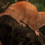 Illustration of the new giant rat by Velizar Simeonovski, The Field Museum, Chicago IL.