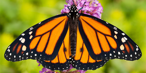Monarch Butterfly. Source: National Wildlife Federation
