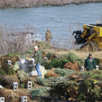 Donated Christmas trees used to create fish habitat. Photo: courtesy photo, US Army Corps of Engineers, Arkansas