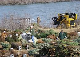 Donated Christmas trees used to create fish habitat. Photo: courtesy photo, US Army Corps of Engineers, Arkansas
